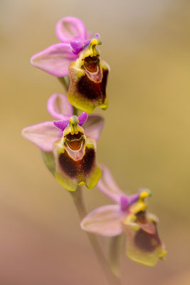 Wespenragwurz (Ophrys tenthredinifera)