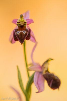 Zierliche Ragwurz (Ophrys elegans) - Zypern Endemit