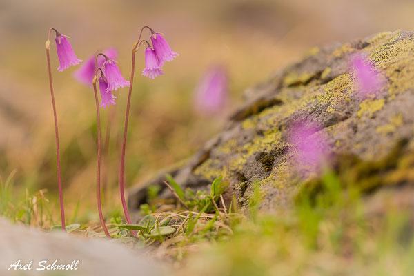 Zwerg-Alpenglöckchen (Soldanella alpicola)