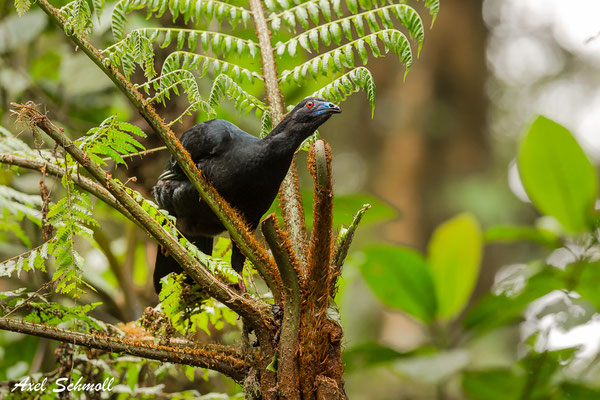 Schwarzer Guan (Chamaepetes unicolor) – black guan – Santa Elena