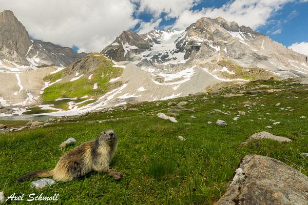 Murmeltier vor dem Grande Casse (3855 m)