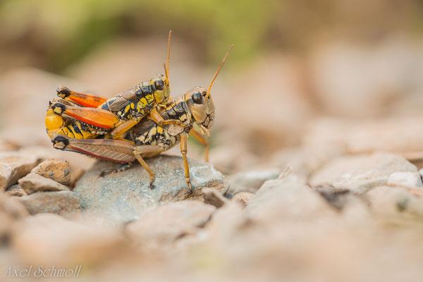 Gewöhnliche Gebirgsschrecke (Podisma pedestris) - Pyrenäen