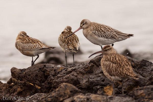 Regenbrachvogel und Uferschnepfe - Fuerteventura