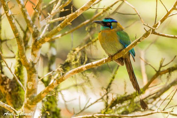 Blauscheitelmotmot (Momotus momota) – blue-crowned Motmot – Curi Cancha
