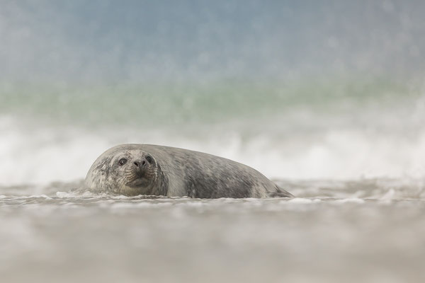 Erster Ausflug des Robbenbabys ins Meer - noch unbehelligt...