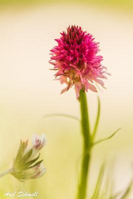 Cornelia-Kohlröschen (Nigritella corneliana) - Endemit der Westalpen