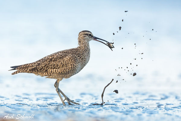 Regenbrachvogel (Numenius phaeopus) - whimbrel - Nationalpark Tortuguero