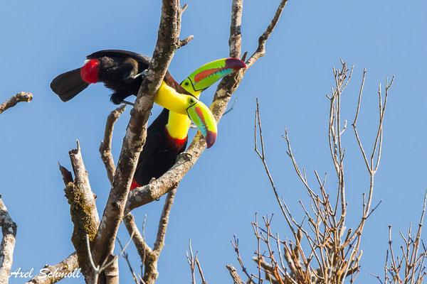 Regenbogentukan (Ramphastos sulfuratus) – keel billed toucan – Santa Elena