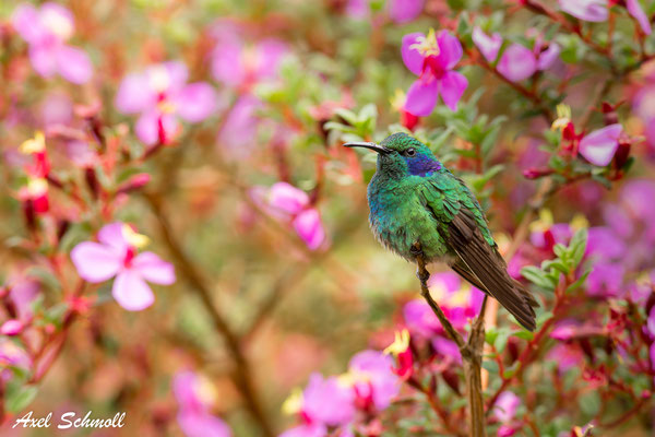 Veilchenohrkolibri (Colibri thalassinus)