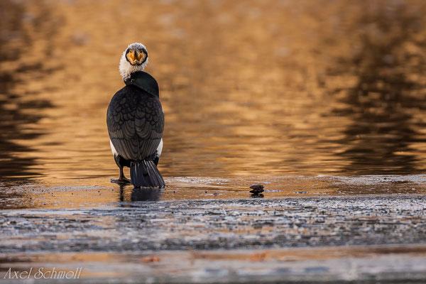 Kormoran (Phalacrocorax carbo) - Potsdam