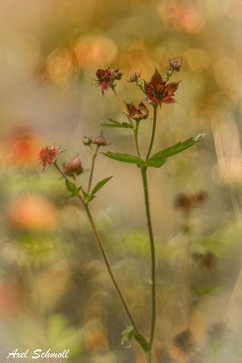 Sumpfblutwurz (Potentilla palustris)