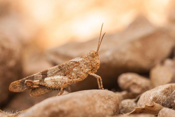 Ödlanschrecke - Pyrenäen