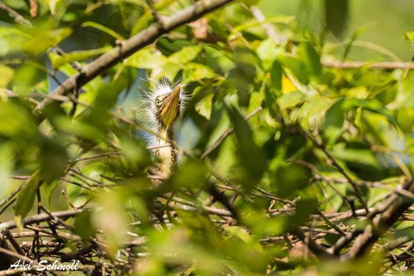 Nacktkehlreiher im Nest (Tigrisoma mexicanum)