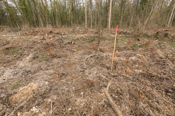 Ob die Pflanzung von Rotbuchen auf solchen Kahlflächen Erfolg haben kann, ist sehr zu bezweifeln. Man sollte sie zumindest unter Kiefernschirm als Naturverjüngung oder per Saat fördern.