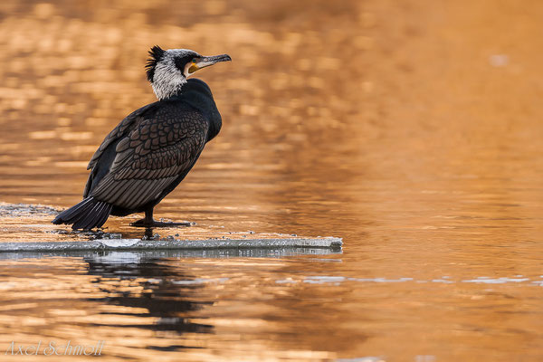 Kormoran (Phalacrocorax carbo) - Potsdam