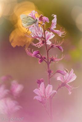 Baumweißling (Aporia crategi) am Diptam