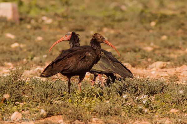 Waldrapp (Geronticus eremita) - Marokko