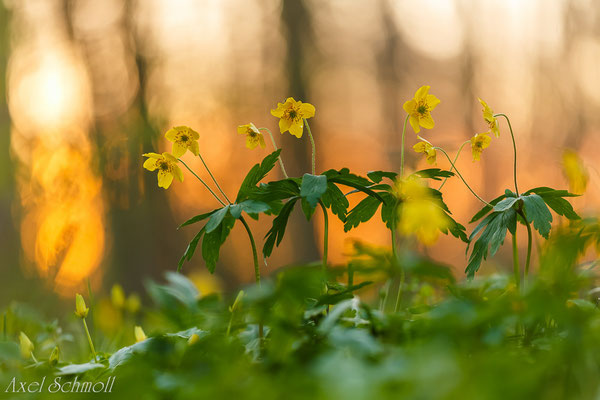 Gelbes Windröschen (Anemone ranuncoloides)