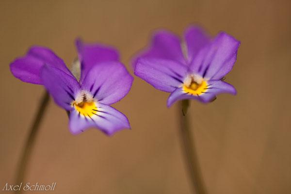 Acker-Vergißmeinnicht (Viola arvensis)
