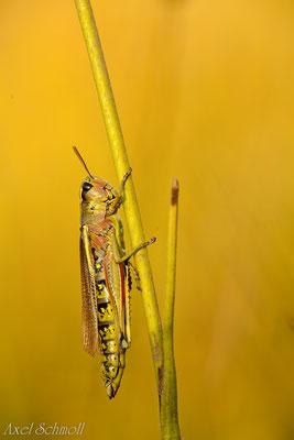 Sumpfschrecke (Stethophyma grossum) - Brandenburg