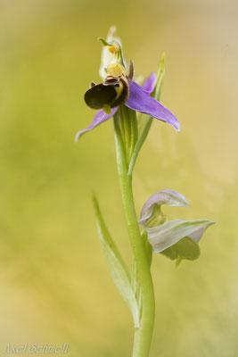 Hummel-Ragwurz (Ophrys holoserica) - Abruzzen