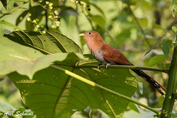 Eichhörnchen Kuckuck (Piaya cayana) – squirrel cuckoo - Chilamate Rainforest Retreat