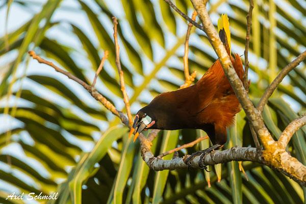 Montezuma-Stirnvogel (Psarocolius Montezuma) – Montezuma oropendola - Nationalpark Tortuguero