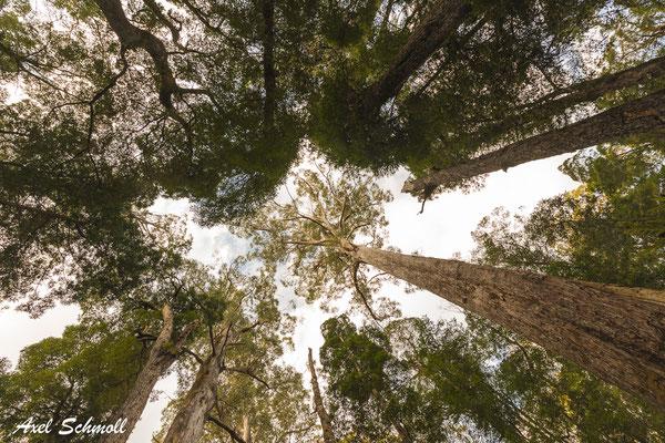 Blick in die Baumkronen in einem gemäßigten Regenwald