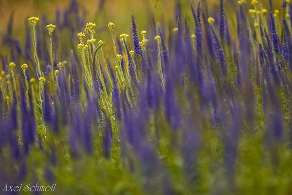 Langblättriger Ehrenpreis (Veronica longifolia)