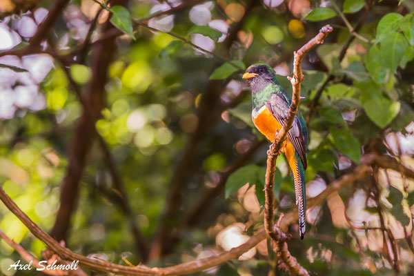 Goldbauchtrogon (Trogon aurantiiventris) – orange bellied trogon - Santuario Ecologico