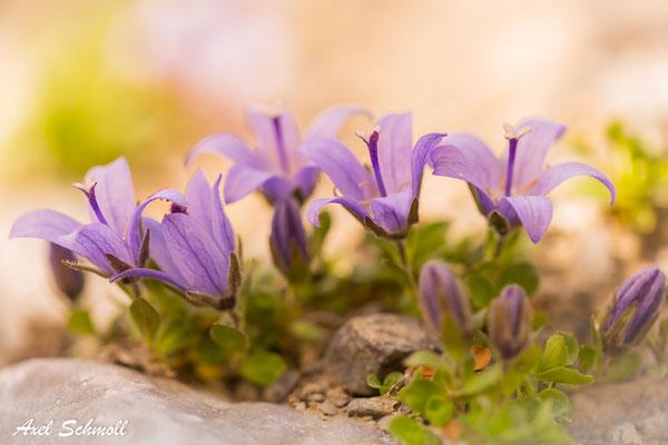 Mont Cenis-Glockenblume (Campanula cenisia) - Endemit der Westalpen