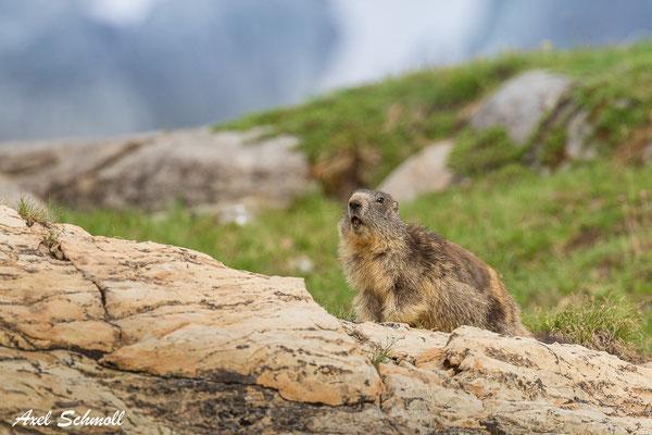 Murmeltier (Marmota marmota) - in der Nähe von Berghütten oft wenig scheu (aber nicht angefüttert!)