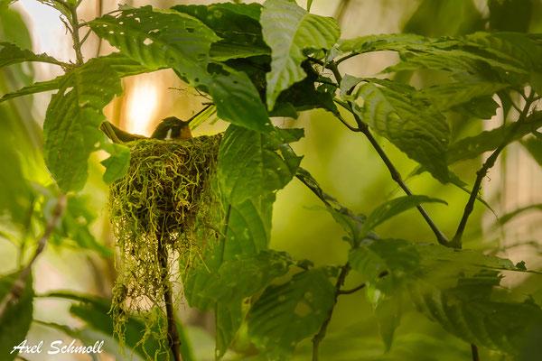 Purpurkehl-Nymphe brütend (Lampornis calolaemus)