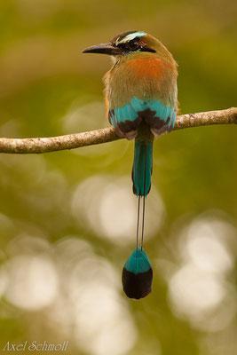 Blauscheitel-Motmot (Momotus momota)