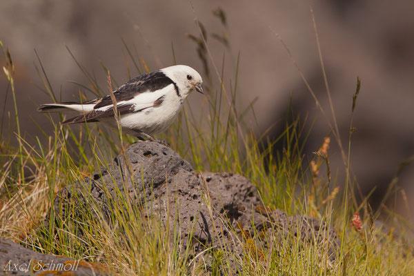 Schneeammer (Plectrophenax nivalis) - Island