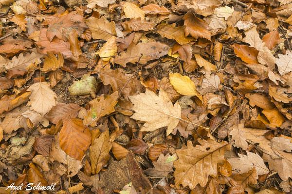 An den südexponierten Hängen findet man im Wiegental auch vereinzelt Elsbeeren.