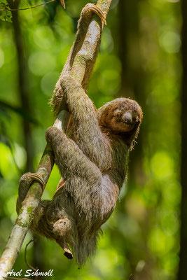 Dreizehenfaultier – Nationalpark Corcovado