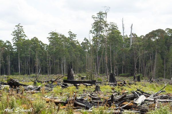 "Großflächige Regenwaldzerstörung - ""Sustainable Timber Tasmania"""