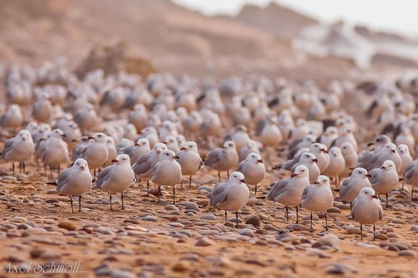 Korallenmöwe (Larus audouinii) - Marokko