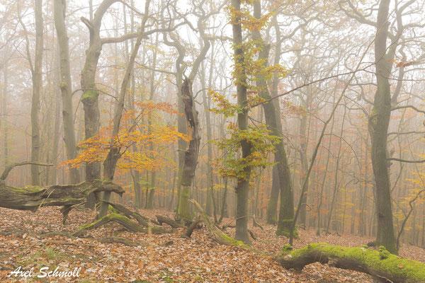 """Eichen könnten in intakten Waldöksystemen die """"Gewinner"""" im Klimawandel werden, wenn man sie denn lässt."""