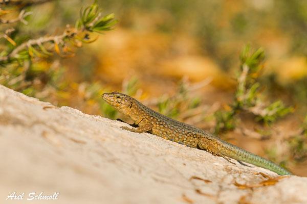 Dragonera-Eidechse (Podarcis liliforde ssp. giglioli) - Mallorca (Dragonera)