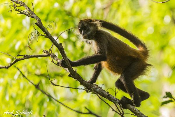 Geoffroy-Klammeraffe -  Nationalpark Tortuguero