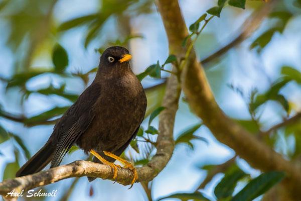 Rußdrossel (Turdus nigrescens) – sooty robin – Mirador Quetzales