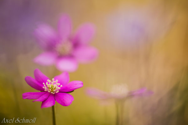 Leberblümchen (Hepatica nobilis) - pinke Form