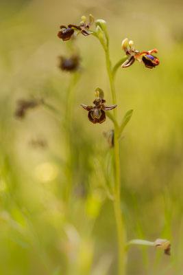 Spiegelragwurz (Ophrys speculum)