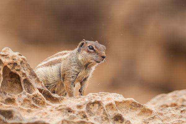 Atlashörnchen (Atlantoxerus getulus) - Fuerteventura