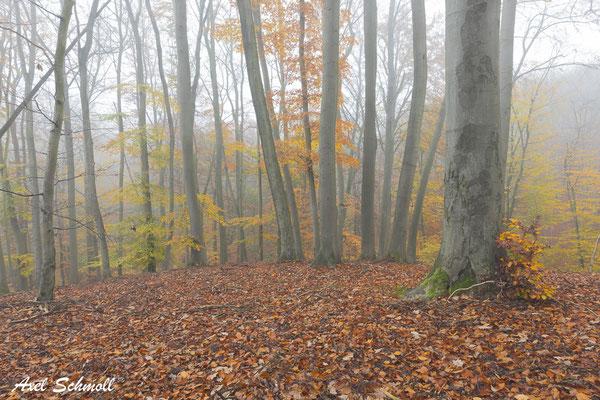 Der globale Holz-Raubbau findet längst nicht mehr nur in den weit abgelegenen Amazonas-Regenwäldern statt, sondern mittlerweile auch im heimischen Buchenwald vor unserer Haustür. (Norbert Panek, 2014)