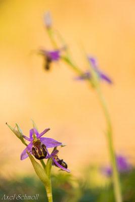 Bienenragwurz (Ophrys apifera) - Wales