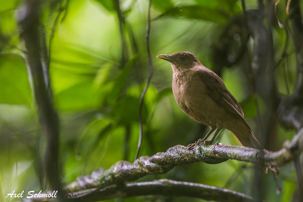 Gilbdrossel (Turdus grayi) - clay coloured robin - Chilamate Rainforest Retreat