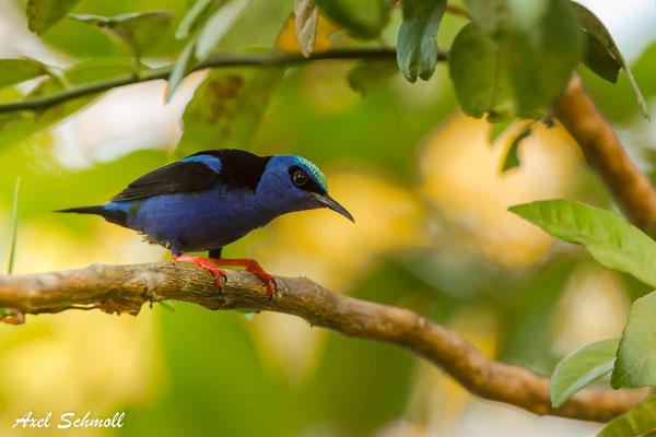 Türkisnaschvogel (Cyanerpes cyaneus) – red-legged honeycreeper – Punta Marenco Lodge